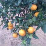 Orangen gibts im Winter.