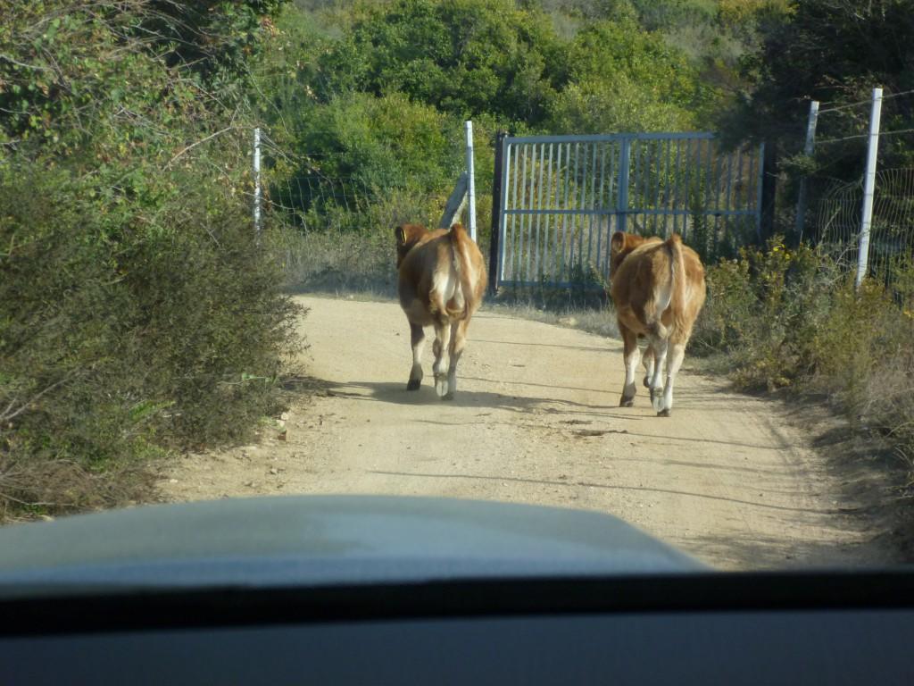 Kühe haben Vorfahrt.